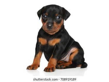 Zwergpinscher puppy. Close-up portrait on a white background