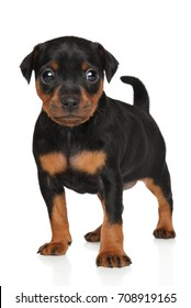 Zwergpinscher puppy in stand. Portrait on a white background