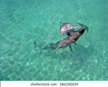 Zwo dolphins in the turquoise water of Nassau, Bahamas. Two wild and happy dolphins playing with each other in crystal clear Caribbean water.