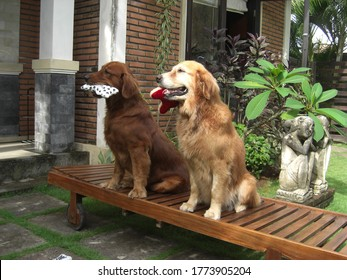 Zwo Golden Retriever dogs in dog training, learning sit-stay while holding a dog toy