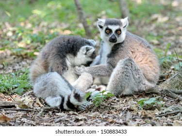 Zwo lemur catta (maki) of Madagascar sitting quietly on the ground and cleaning each other