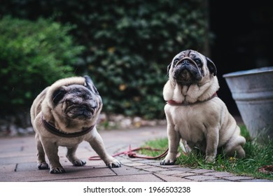 Zwo pugs in Home Environment.