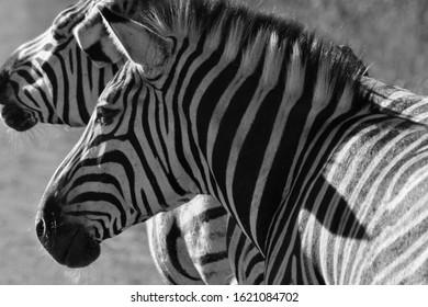 Zwo Zebras in black white