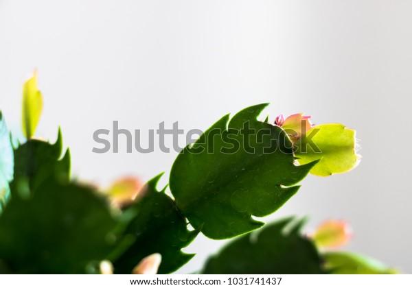 Zygo Cactus Leaves