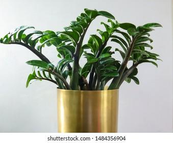 ZZ Plant in a Golden Pot
