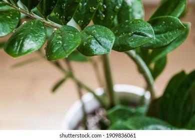 ZZ plant (Zamioculcas zamiifolia aka Zanzibar gem) plant branch with water droplets in a modern apartment.