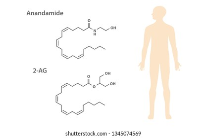 2-AG and anandamide are the two major endocannabinoids, healthcare and medical illustration about cannabis