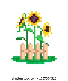 3 yellow sunflowers growing behind wood fence, summer scene, pixel art illustration isolated on white background.Old school 8 bit slot machine icon. Retro 80s,90s video game graphics. Flower gardening
