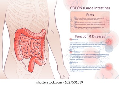 3d diagram illustration of the human colon. Internal organs digestive system. Template. anatomical man body parts. Hand drown vector isolated illustration, sketch.