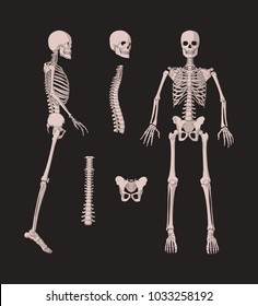 3d human bones skeleton isolated on black background. Bone set. Vector illustration of spine and skull bones.