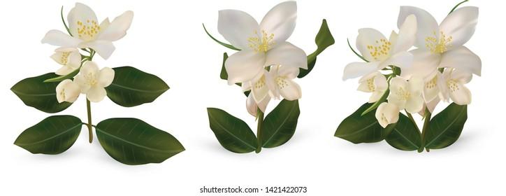 3d realistic white jasmine flowers on white background. Set jasmine flowers.Isolated jasmine flowers. Jasmine close up. Vector illustrator.