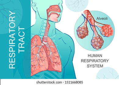 3d vector of the human Respiratory System, lungs, alveoli. Inside larynx nasal throttle anatomy. Man body parts. Hand drown anatomy illustration