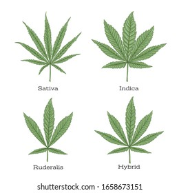 4 grades of cannabis leaf set sativa, indica, hybrid, ruderalis. Clip art, set of elements for design. Vector illustration isolated on white background..