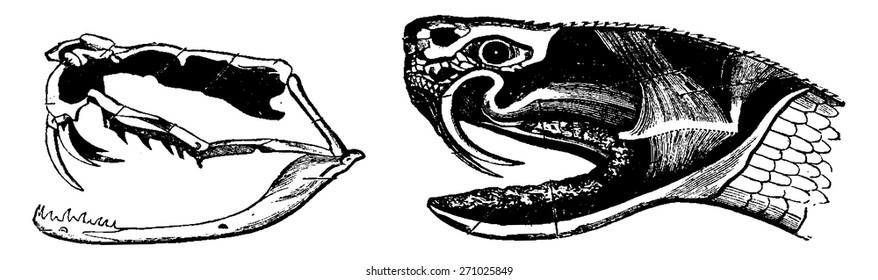 A. Skeleton of the head of a poisonous snake, B. Head of a venomous snake, vintage engraved illustration. From La Vie dans la nature, 1890.