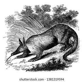 Aardvark is a medium sized and nocturnal mammal native to Africa, vintage line drawing or engraving illustration.