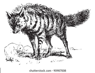 Aardwolf or Proteles cristata or maanhaar jackal, vintage engraved illustration. Dictionary of words and things - Larive and Fleury - 1895.