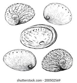 Abalone Illustration
