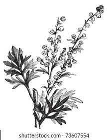 Absinthe plant, Artemisia absinthium or wormwood engraving illustration, isolated on white. Also called (absinthium, absinthe wormwood, wormwood, common wormwood, Green Ginger or grand wormwood.