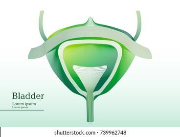 Abstract green illustration of bladder