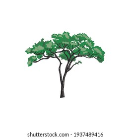 Acacia tree logo vector illustration