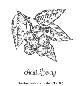 Acai berry, fruit, leaf, plant branch. Superfood organic asian acai berry. Hand drawn acai vector sketch engraved illustration. Black acai berry isolated on white background.