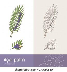 Acai palm leaf and berry fruit botanical drawing
