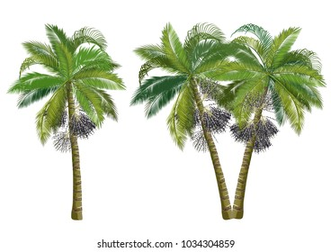 Acai palm tree (Euterpe oleracea). Realistic vector illustrations isolated on white background.