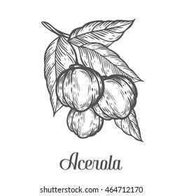 Acerola fruit, barbados cherry. Superfood organic american berry. Hand drawn vector sketch engraved illustration. Black acerola isolated on white background