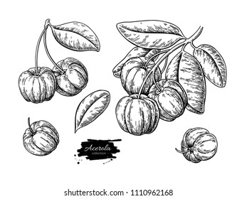 Acerola fruit vector drawing set. Barbados cherry sketch. Vintage engraved illustration of superfood. Hand drawn icon for label,  poster, packaging design.