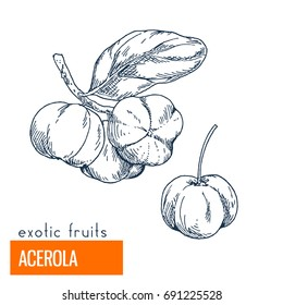 Acerola. Hand drawn vector illustration, vintage engraving style.