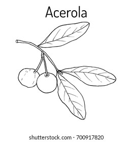 Acerola (Malpighia glabra), or Barbados cherry, medicinal plant. Hand drawn botanical vector illustration