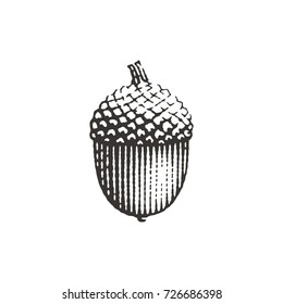 Acorn. Hand drawn engraving style illustrations.