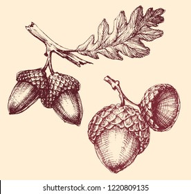 Acorn isolated hand drawing