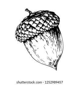 Acorn vector hand drawn illustration.