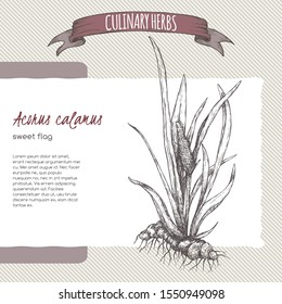 Acorus calamus aka sweet flag sketch. Culinary herbs series. Great for traditional medicine, perfume design, cooking or gardening.
