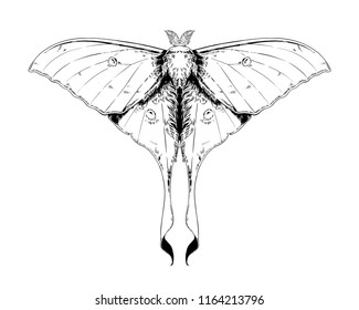 Actias Selene, luna moth, moon moth. Highly detailed vector hand drawn illustration.