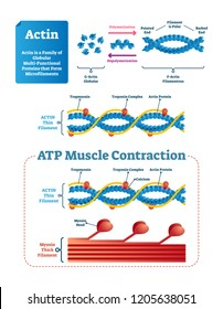 Actin vector illustration. Labeled diagram with protein structure and location. Polymerization explanation with pointed end, polar and barbed. Actin thin filament scheme.