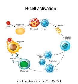 Activation of B-cell leukocytes: lymphoblast, activation, memory B-leukocyte, virus, plasma cell, antibody, antigen, and naive lymphocyte