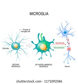 Activation of a microglial cell. Vector diagram for educational, medical, biological and science use