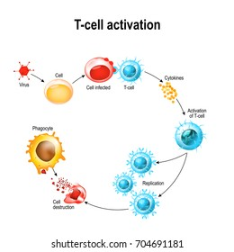 Activation of  T-cell leukocytes. T-cell encounters its cognate antigen on the surface of an infected cell. T cells direct and regulate immune responses and attack infected or cancerous cells.