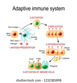 Adaptive immune system from Antigen presentation to activation of other immune cells. specific immune. T-helper and T-killer cells. Effector cells. Diagram for educational, biological, and science use