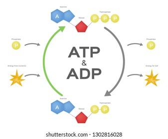 Adenosine triphosphate / ATP ADP cycle. vector