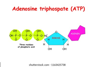 Adenosine triphosphate (ATP) on white background. ATP provides energy to drive many processes in living cells, e.g. muscle contraction, nerve impulse propagation, chemical synthesis.