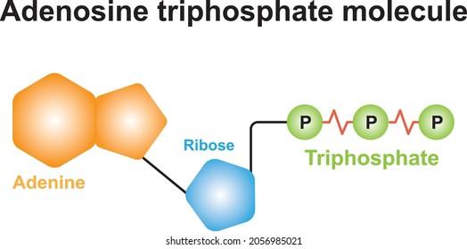 Adenosine Triphosphate Molecule Structure. Colorful Symbols. Vector Illustration.