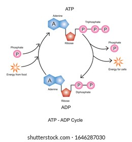 Adenosine triphosphate(ATP) is an organic molecule used for short term energy storage and transport in the cell.Adenosine diphosphate (ADP) is organic compound for metabolism in cell