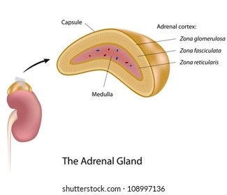 The adrenal gland