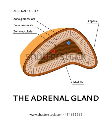 Adrenal Gland Medical Scheme Point View Stock Vector Royalty Free