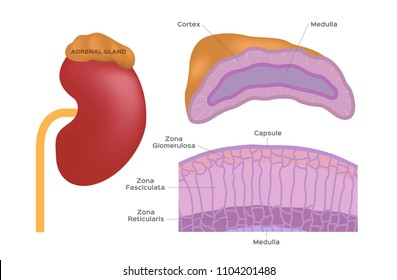 Adrenal Gland Images, Stock Photos & Vectors | Shutterstock