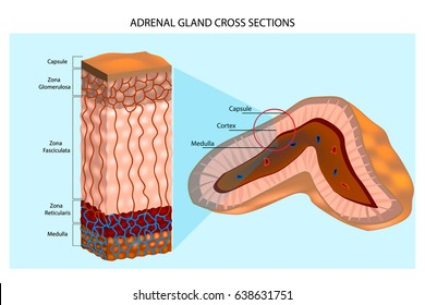 Adrenal Glands Diagram. Internal structure of the adrenal gland showing the cortical layers and medulla