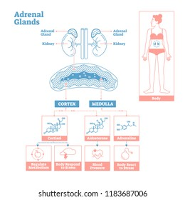 Adrenal Glands of Endocrine System.Medical science vector illustration diagram.Biological scheme with cortisol,aldosterone and adrenaline effects such as metabolism,stress response and blood pressure.